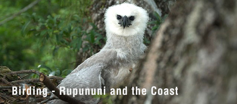 Rupununi Trails - Birding - Rupununi and the Coast